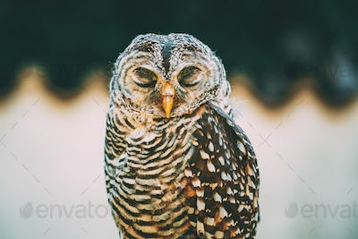 Rufous-legged Owl (Strix Rufipes) Is A Medium Sized Owl With No
