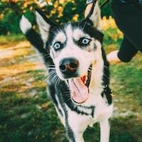 Young Happy Husky Eskimo Dog Runs Next to Mistress On Fresh Gree