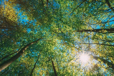 Spring Summer Sun Shining Through Canopy Of Tall Trees Woods. Up