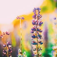 Overblown Wild Flowers Lupine, Lupinus In Summer Field Meadow At