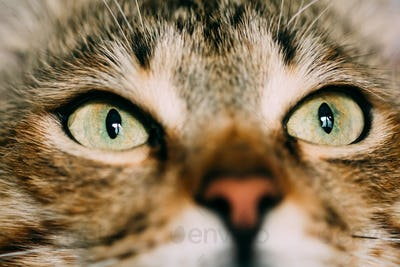 Close Up Funny Cat Eyes