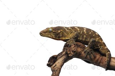 New Caledonian giant gecko isolated on white background