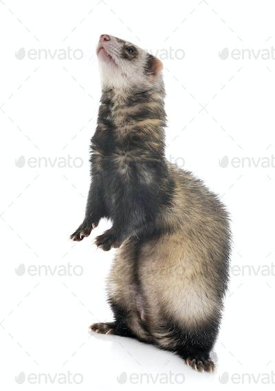 brown ferret in studio