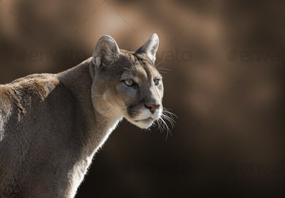 Mountain Lion Closeup Portrait