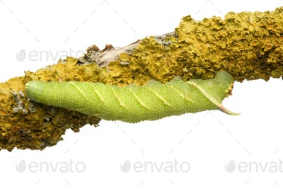 Lime Hawk-moth caterpillar - Mimas tiliae