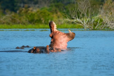 Hippo (Hippopotamus amphibius) in the river