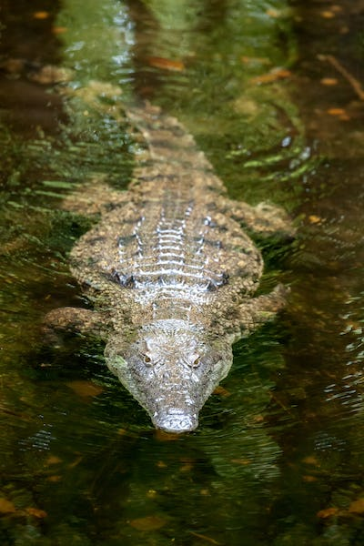 Crocodile in National park of Kenya, Africa