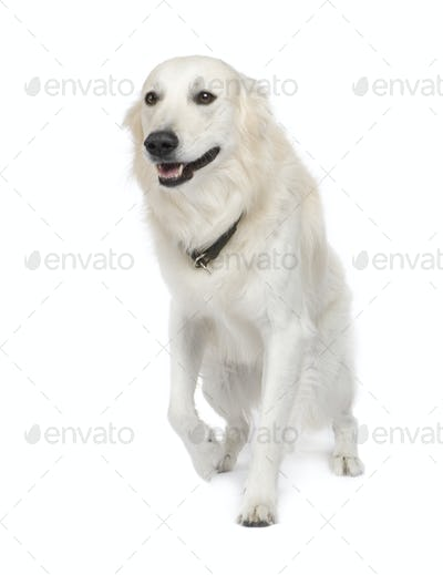 Mixed-Breed Dog between Golden Retriever and husky (5 years)