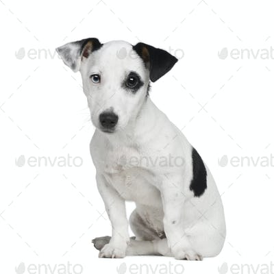 puppy Jack russell (5 months)