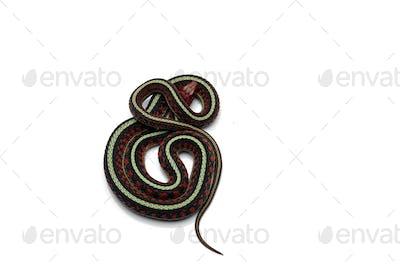 Eastern Garter Snake isolated on white background