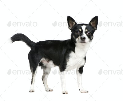 Mixed-Breed Dog with a chihuahua