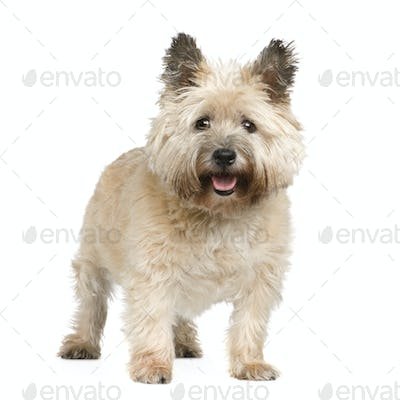 Cairn Terrier (12 years)
