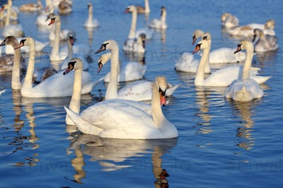 Beautiful swans (Cygnus olor) on blue lake in sunny day. Swans a