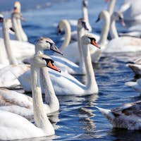 Beautiful swans (Cygnus olor) on blue lake in sunny day