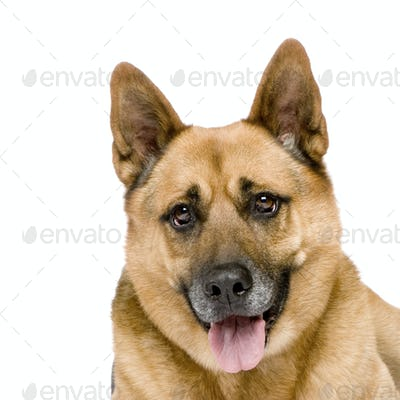 german shepherd (8 years)