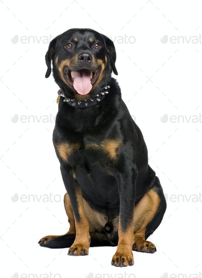 rottweiler (5 years)