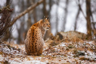Back view of eurasian lynx looking into the forest in winter