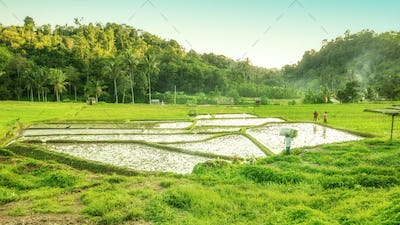 Bali landscape with verdant green rice field