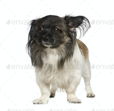 Mixed-Breed Dog with a papillon
