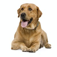 Labrador (3 years)