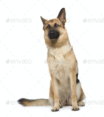 german shepherd (2 years)