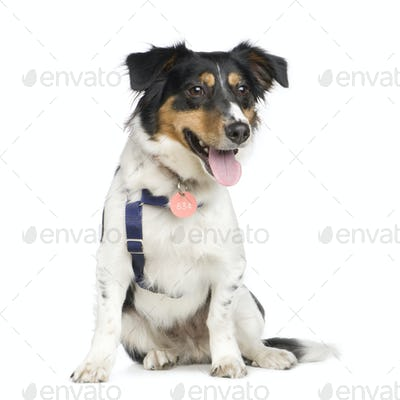 Mixed-Breed Dog with a jack russel (18 months)