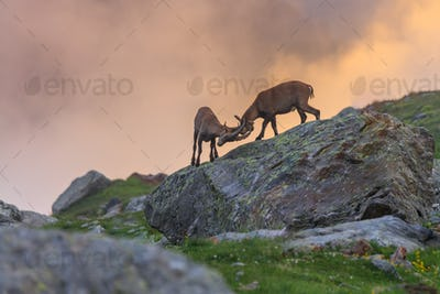 Ibex , Range of Mont Blanc , French Alps