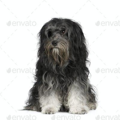 Löwchen (7 years)