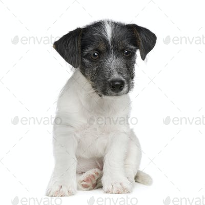 puppy Jack russell (11 weeks)