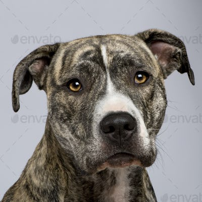 American Staffordshire terrier (18 months)