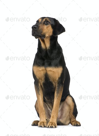 Mixed-Breed Dog with a beauceron (6 years)