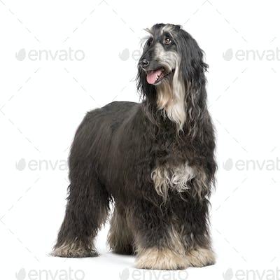 Afghan Hound (7 years)