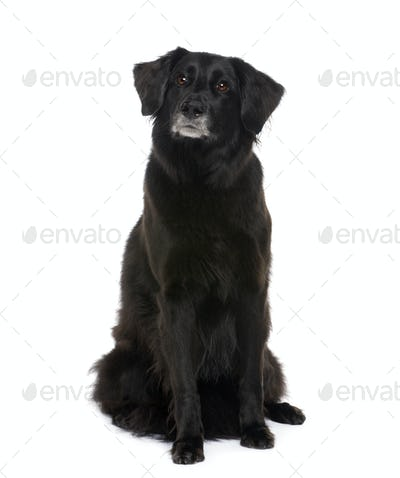 Old Mixed-Breed Dog with a labrador (6 years)