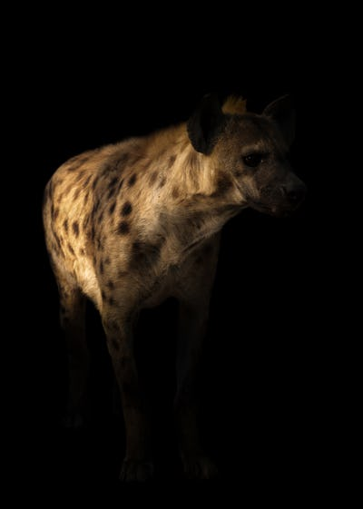 spotted hyena standing in the dark
