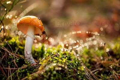 Amanita muscaria, Fly agaric Mushroom In a Sunny forest in the r