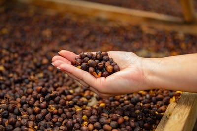 Female Employee Holding Organic Raw Coffee Beans in Her Hand