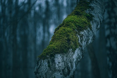 Moody birch tree with moss in spooky night forest. Nature macro photography, blue colouring.