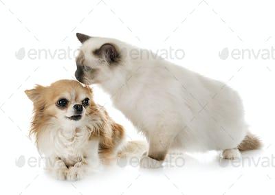 birman kitten and chihuahua
