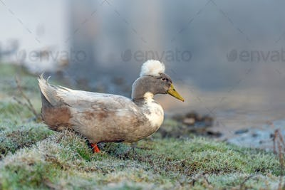 White duck on wet green grass animal farm in a village