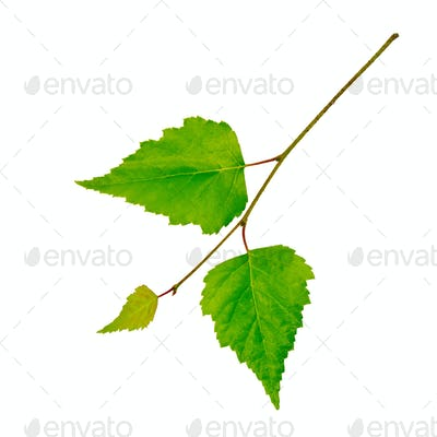 Birch twig with green leaves
