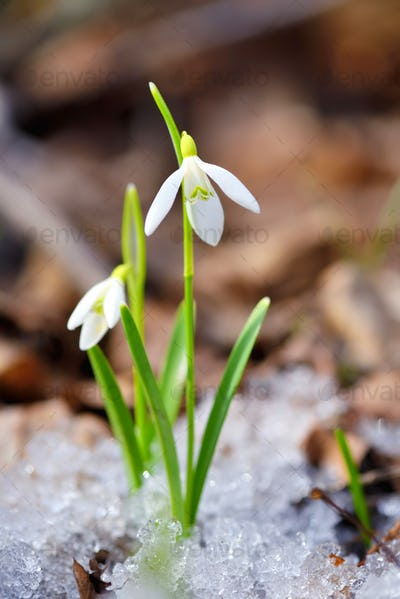 Snowdrops (Galanthus) in the spring forest. Harbingers of warming symbolize the arrival of spring.