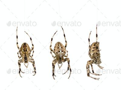 diadem spider - Araneus diadematus