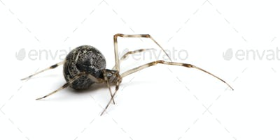 Common house spider - Achaearanea tepidariorum