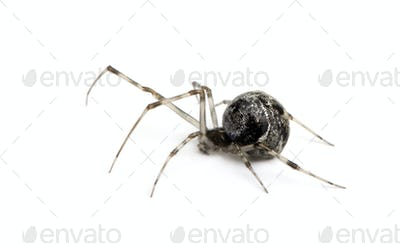 Common house spider - Achaearanea tepidariorum