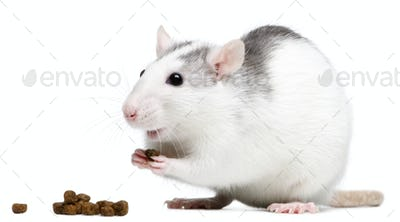 Rat eating in front of white background