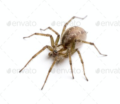 Barn funnel weaver spider- Tegenaria agrestis