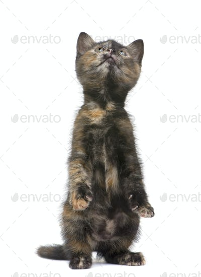 Tortoiseshell kitten (2 months)