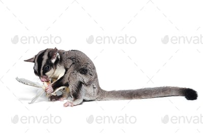 Sugar glider eats isolated on white background