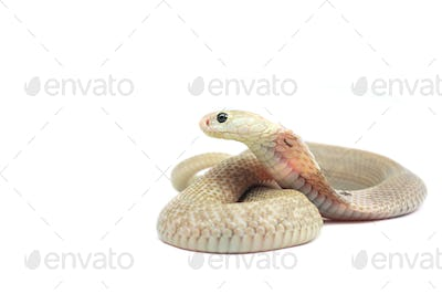 The Chinese cobra isolated on white background