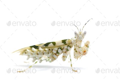 Giant African mantis isolated on white background